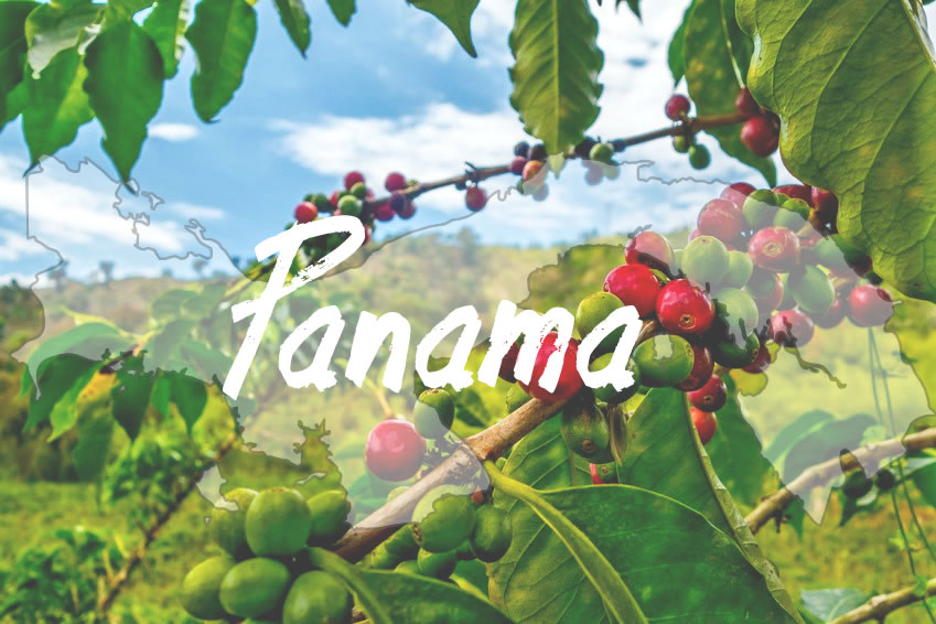 Kaffeeanbau in Panama