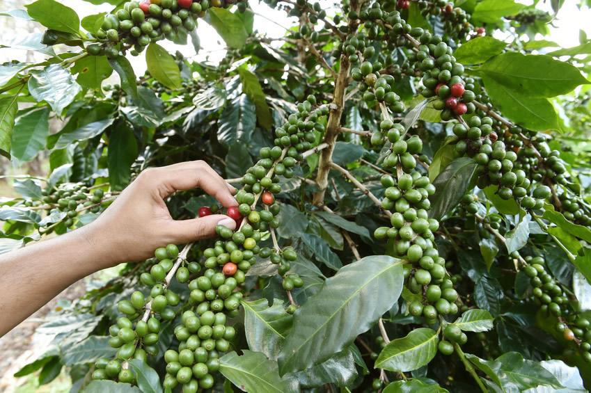 Methoden der Kaffeeernte