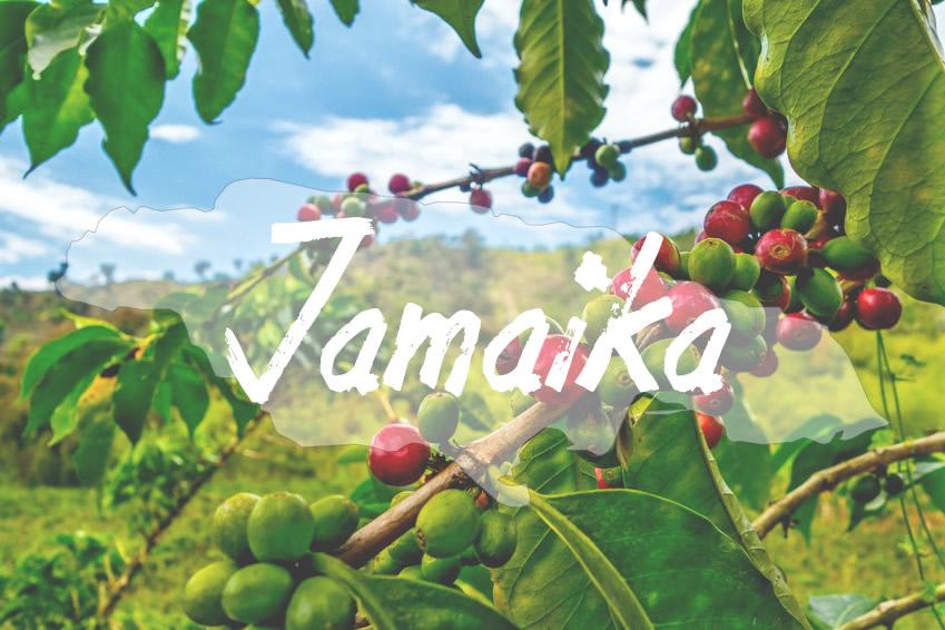 Kaffeeanbau in Jamaika